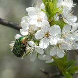 Green beetle on cherry petals Stock Photo