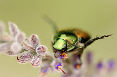 Green beetle. A close up of a green beetle in spring Stock Photos