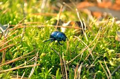 Green beetle crawling. royalty free stock image