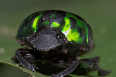Green Beetle-Ecuador. Green Beetle, Ecuador Oriente jungle region Stock Photo
