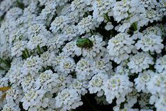 Green beetle exploring a white world royalty free stock photo