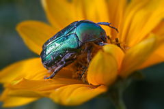 Green beetle firefly Royalty Free Stock Photo