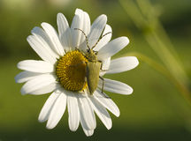Green beetle on the flower Stock Photography