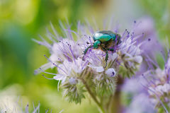 Green beetle. On a flower in a sunny day.Beautiful green-violet background stock photos