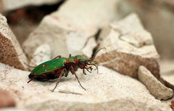 Green beetle giant bug on a stone Royalty Free Stock Photos