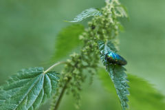Green beetle on green leaf. Stock Photos