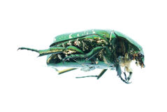 Green beetle insect rose chafer Stock Image