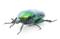 Green beetle. Insect rose chafer (cetonia aurata) on white background Royalty Free Stock Photo