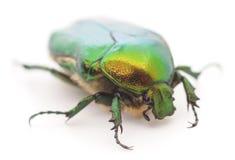 Green beetle Stock Photography