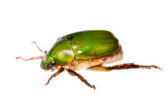 Green beetle Royalty Free Stock Photo