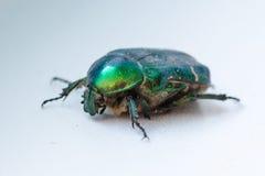 Green beetle Stock Image