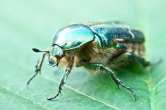 Green beetle on a leaf Stock Photography