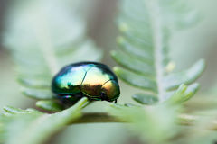 Green beetle on leaf in macro Stock Photo