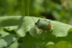 Green beetle on a leaf Royalty Free Stock Images
