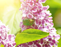 Green beetle on lilac flower Royalty Free Stock Photos