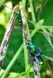 Green Beetle Royalty Free Stock Images