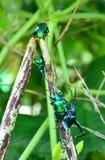 Green Beetle Royalty Free Stock Photos