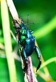 Green Beetle mating Royalty Free Stock Images