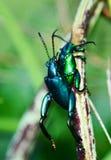 Green Beetle mating stock photos