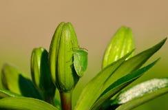 Green beetle nezara viridula on lily floral buds Stock Photo