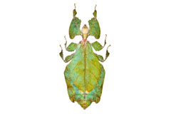 Free Green Beetle Phyllium Giganteum Isolated Stock Photos - 19512593