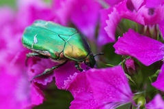 Green beetle on a pink flower. Royalty Free Stock Images