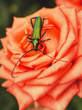 Green beetle on a rose Stock Image