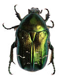 Green beetle. Rose chafer , cetonia aurata Royalty Free Stock Image