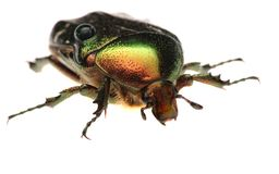 Green beetle. Rose chafer , cetonia aurata Stock Photo