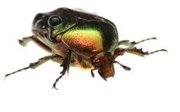 Green beetle. Rose chafer , cetonia aurata Stock Photo