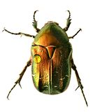 Green beetle. Rose chafer , cetonia aurata Stock Image