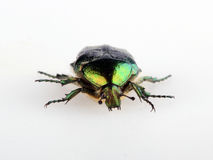 Green beetle. Rose chafer cetonia aurata isolated on white Royalty Free Stock Image