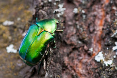 Green beetle Stock Images
