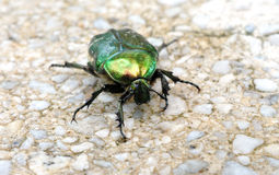 Green beetle on the sidewalk Stock Photos