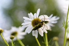 A green beetle sits on a white daisy flower. Stock Photos