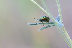 Green beetle sitting on plant Royalty Free Stock Image