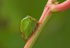 Green beetle. Green beetle sitting on a stalk of grapes. Close up. Blurred background Stock Images