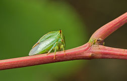 Green beetle. Green beetle sitting on a stalk of grapes. Close up. Blurred background Royalty Free Stock Image