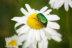 Green beetle on camomile Royalty Free Stock Photo