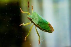 Green Beetle Stock Photos