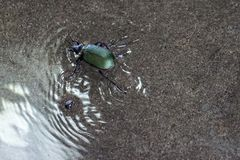 Green Beetle Walking on Water. And creating water ripples Royalty Free Stock Photo