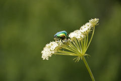 Green beetle Royalty Free Stock Photography