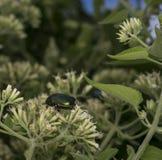 Green beetle in the wild. Metalic green beetle in the wild Stock Photo