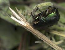 Green beetle in the wild. Metalic green beetle in the wild Stock Photos