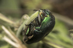 Green beetle in the wild. Metalic green beetle in the wild Royalty Free Stock Images