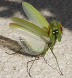 Green beetle. Wings spread ready for defense Royalty Free Stock Photography