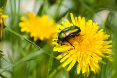 Green beetle on yellow flower Royalty Free Stock Photos