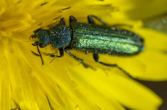 Green beetle on yellow flower. A green beetle sitting on top of an yellow flower Royalty Free Stock Photography