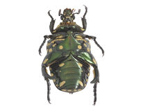 Green beetle. Royalty Free Stock Photography