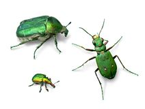 Green beetles Stock Photos